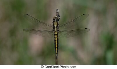 Black-tailed skimmer - Orthetrum cancellatum - females in a...