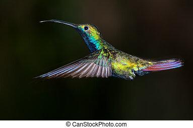 black-throated, mango, colibrí, anthracothorax, nigricollis.