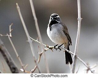 Black-throated Sparrow Backlit