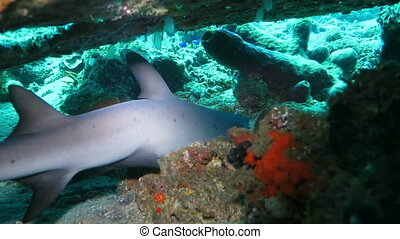 Black tip reef sharks swimming underwater
