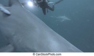 Black tip Sharks swimming around bait