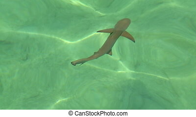 Black Tip Sharks Swimming In Water - Handheld, high angle,...