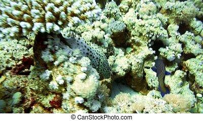 Black-tipped grouper, Epinephelus fasciatus HD