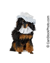 Black Toy Poodle dog with a hat on his head stitting on a ...