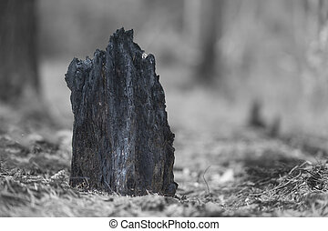 black tree stump after forest fire