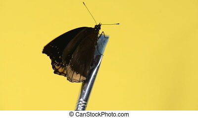 Black tropical butterfly sitting on a brush and flapping...