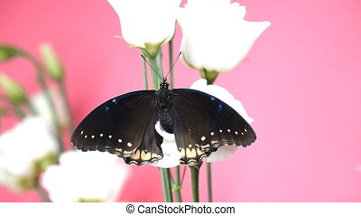 Black tropical butterfly sitting on a flower and flapping...