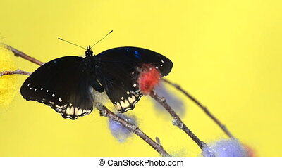 Black tropical butterfly sitting on a stick and flapping...