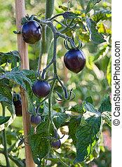 Black unusual tomatoes