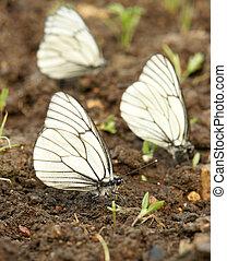 Black-veined white butterflies (Aporia crataegi)
