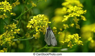 Black Veined White butterfly on flowers of cinder - Aporia...
