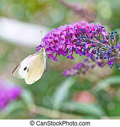 black-veined, witte , vlinder, aporia, crataegi