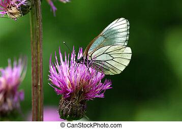 black-veined, witte , vlinder, (aporia, crataegi)
