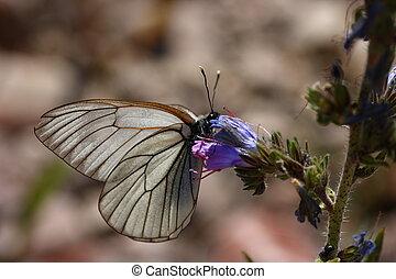 black-veined, witte , vlinder, -, aporia, crataegi