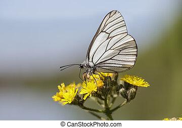 black-veined, witte , vlinder