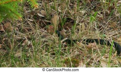 Black Viper (Vipera Berus) Poisonous Snake in a Grass -...