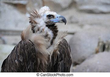 Black Vulture - Closeup image of black vulture (Cinereous ...