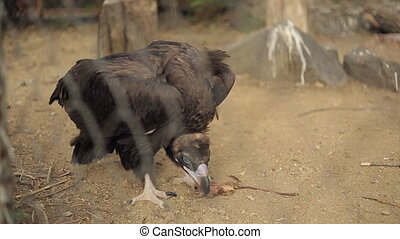 Black Vulture Eat Prey - Black vulture eat prey in a zoo