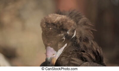 Black Vulture Eat Prey - Black vulture eat prey in the zoo