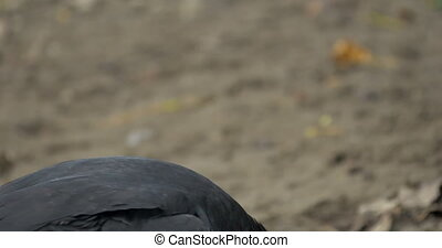 Black Vulture On The Ground, Costa Rica - Native 4:2:2, Log,...