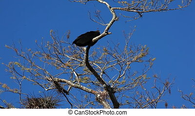 Black Vulture perched in a tree - Black Vulture, Coragyps...