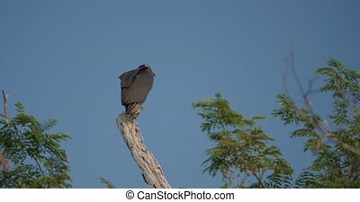 Black Vulture(s), Costa Rica - Graded version. Watch also...