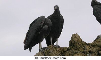 Black vultures on a cliff - Black vultures standing on a ...