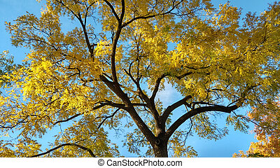 A glorious fall day with focus on the golden foliage of a black walnut tree.