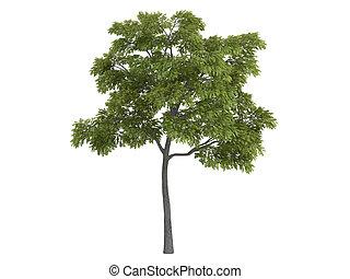 Black walnut or Juglans nigra - Black walnut or latin...