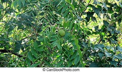 Black walnuts in tree