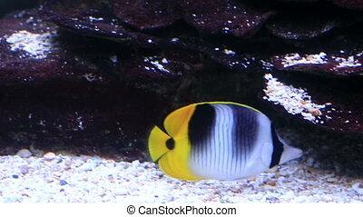 Black wedged Butterflyfish in beautifully decorated Marine Aquarium.