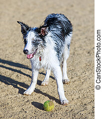 Black & white Border Collie puppy taking a break from chasing a ball in a dog park.