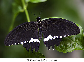 Black White Common Swallowtail Butterfly