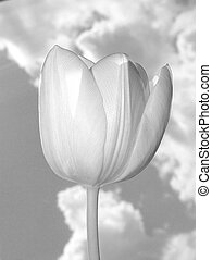 Black & White Tulip