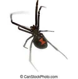 Black Widow - Female Southern Black Widow (Latrodectus...