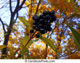 Black wild berries in the autumn forest