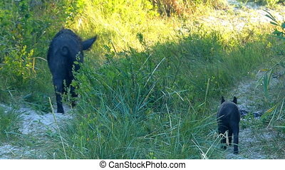 Black wild boar goes along a sandy lane with a piglet - A ...