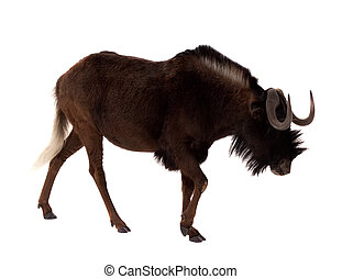 Black wildebeest. Isolated over white