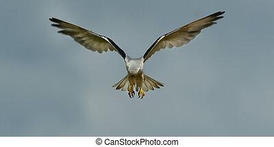 Black Winged Kite 1