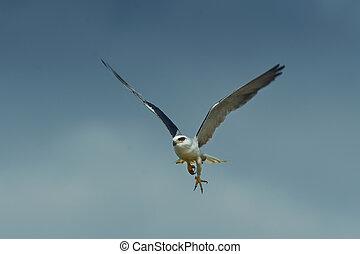 Black Winged Kite 2