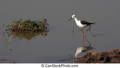 Black-Winged Stilt, himantopus himantopus, Adult Looking for...