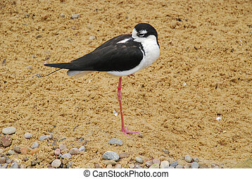 Black-winged stilt - wader bird