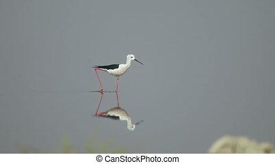 Black-winged stilt (Himantopus himantopus) at the Sambhar...