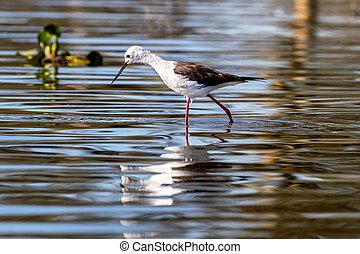Black winged stilt wading in Lake Naivasha