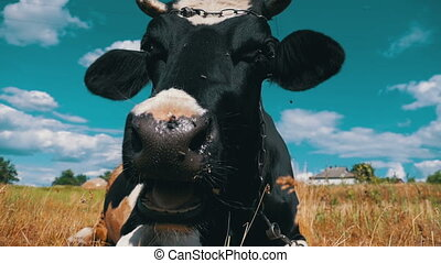 Black with White Cow Lying on Meadow and Chews Grass. Slow Motion