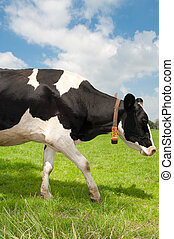 black with white frisian cow in a dutch meadow