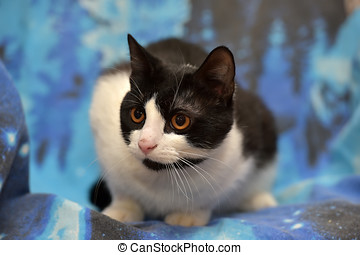 Black with white short-haired cat with orange eyes