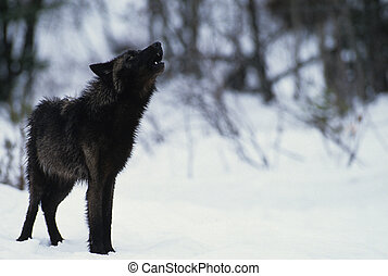 a black colored wolf howling in a snowy scene
