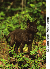 Black Wolf Pup - a cute black wolf pup