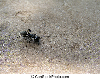 Black wood ant - is walk on the ground